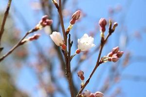 千年桜1.jpg