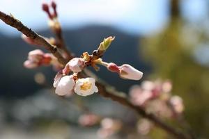 千年桜2.jpg